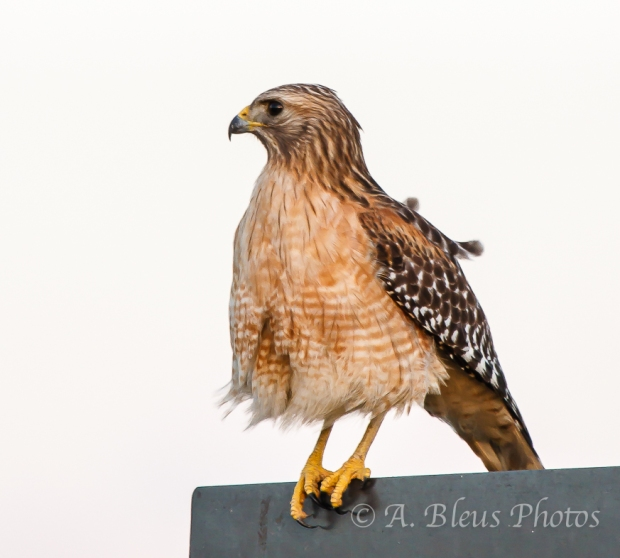 Perched Red-Shouldered Hawk_2895