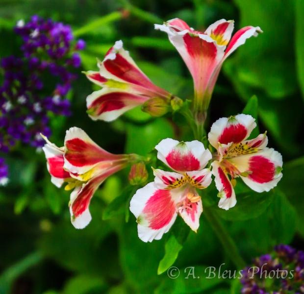 Peruvian Lily Flowers at R. Nixon Library Garden, Yorba Linda, California