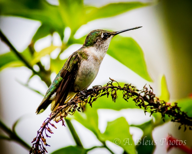 Ruby-Throated Hummingbird_3719