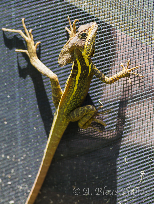 Brown Basilisk on my Screen