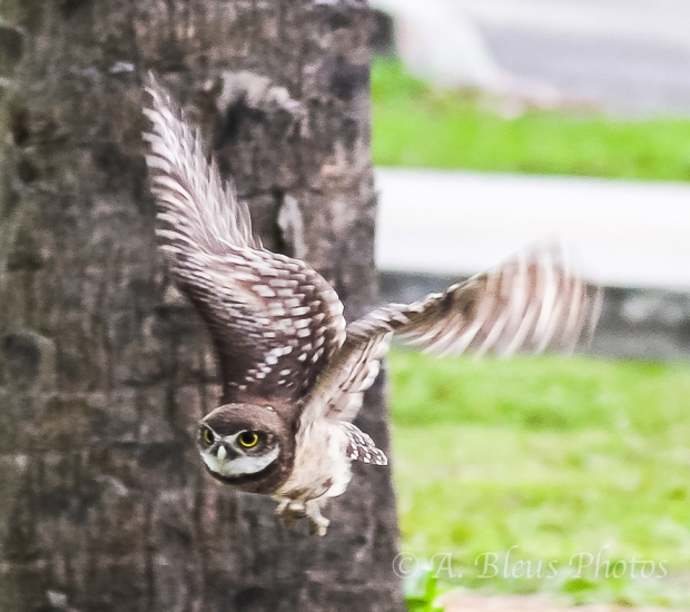 Burrowing Owls-10
