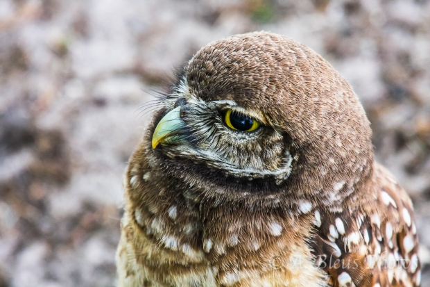 Burrowing Owls-11