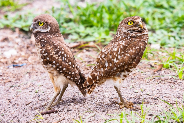 Burrowing Owls-13