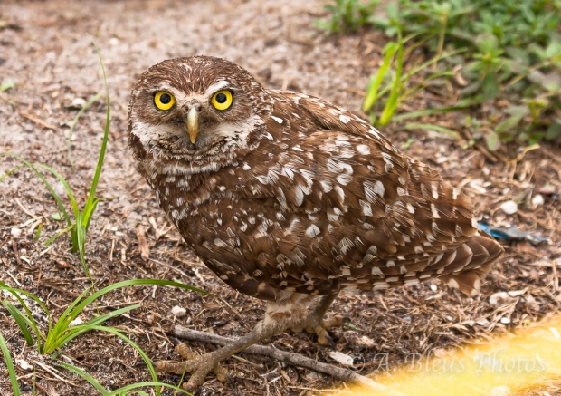 Burrowing Owls-14