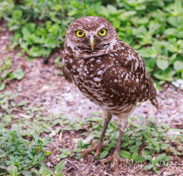Burrowing Owls-15