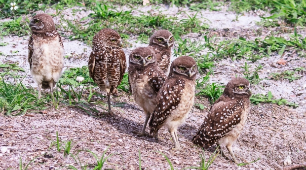 Burrowing Owls-7