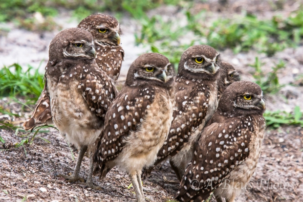 Burrowing Owls-8