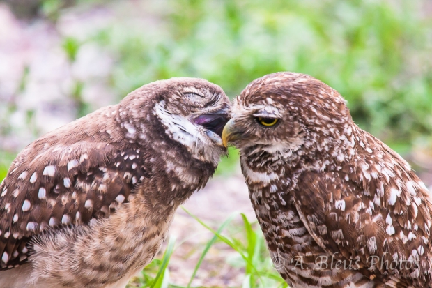 Burrowing Owls-9
