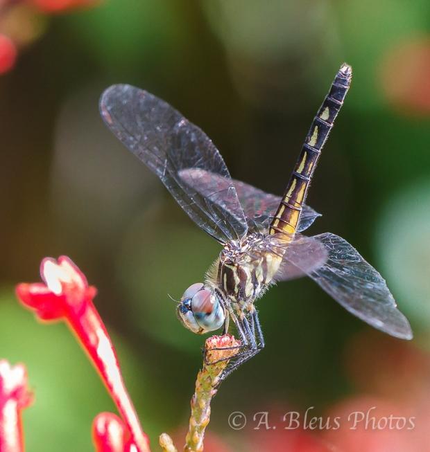 Dragonflies Macro-3