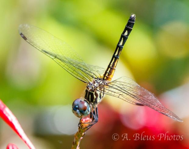 Dragonflies Macro-4