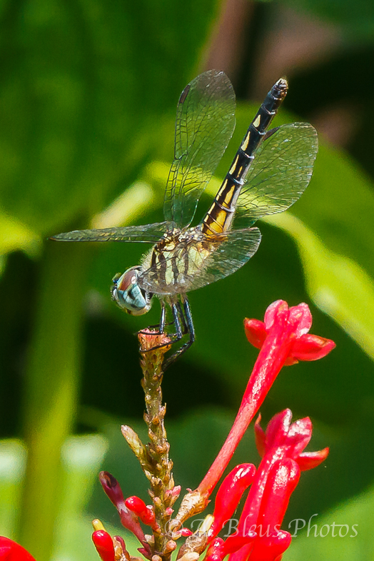 Dragonflies Macro