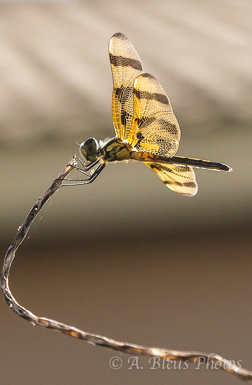 Dragonfly_9667