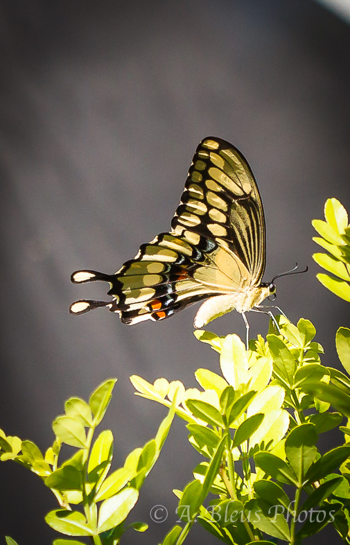 Giant Swallowtail Butterfly Laying Eggs-2