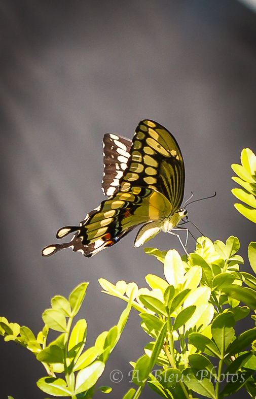 Giant Swallowtail Butterfly Laying Eggs-3