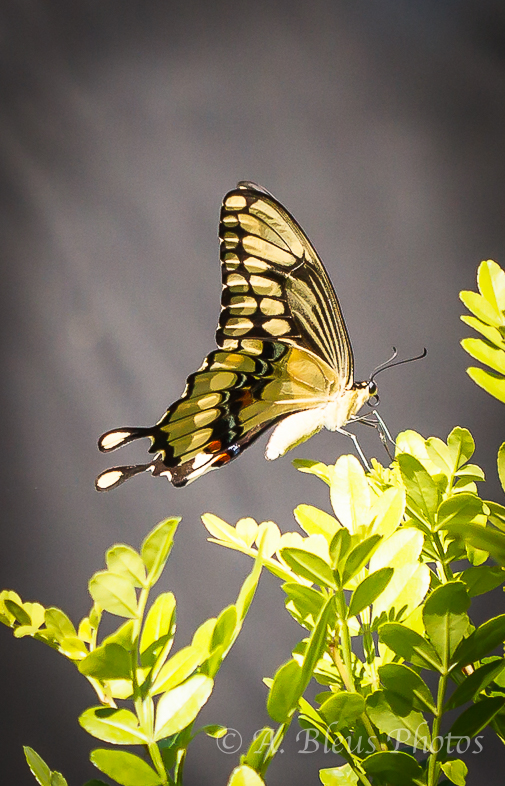 Giant Swallowtail Butterfly Laying Eggs-4