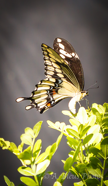 Giant Swallowtail Butterfly Laying Eggs-5