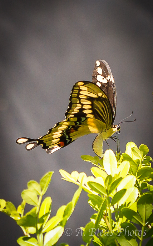 Giant Swallowtail Butterfly Laying Eggs-6