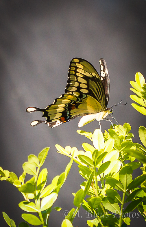 Giant Swallowtail Butterfly Laying Eggs