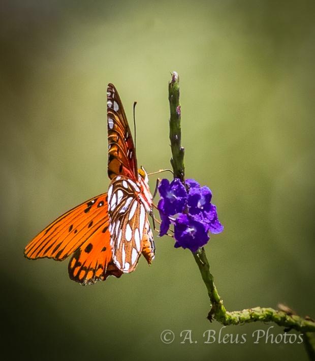 Gulf Fritillary Butterfly_9481