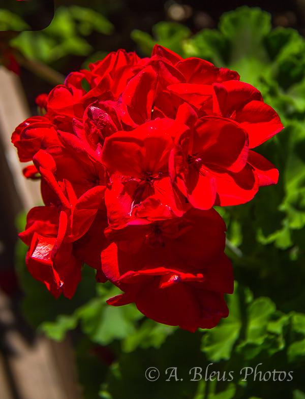 Red Flower Bouquet, Quebec, Canada