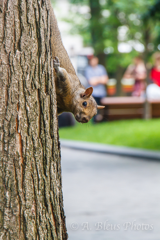 Upside down Squirrel _6235,  Montreal