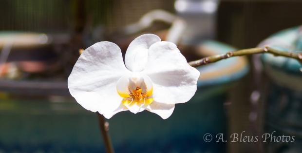 White Phalaenopsis_9543