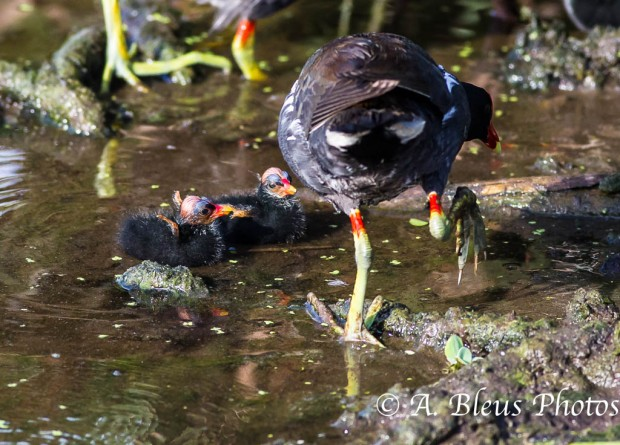 Common Moorhen Mother and Baby Chicks_0973