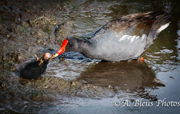 Common Moorhen Mother feeding Baby Chick_1032
