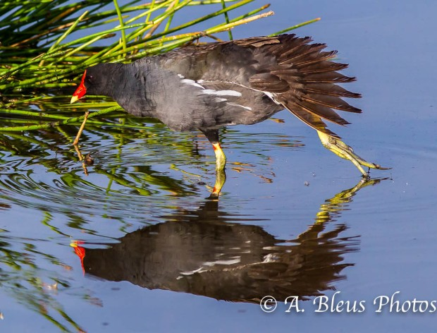 Common Moorhen Stretching_0796