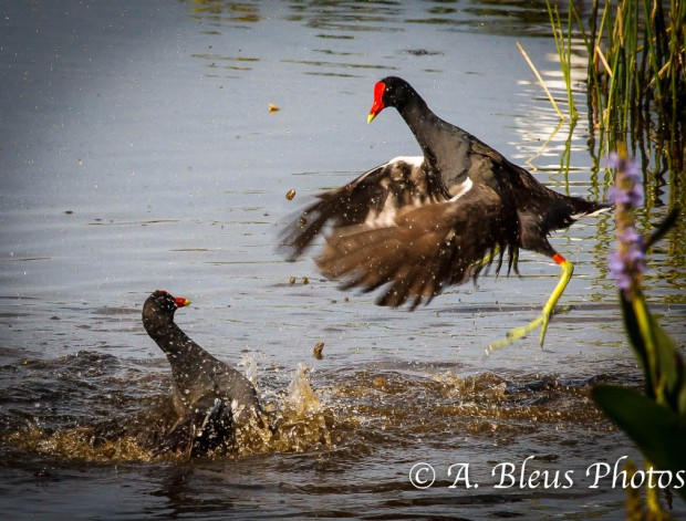 Common Moorhen - The Fight is on_1056