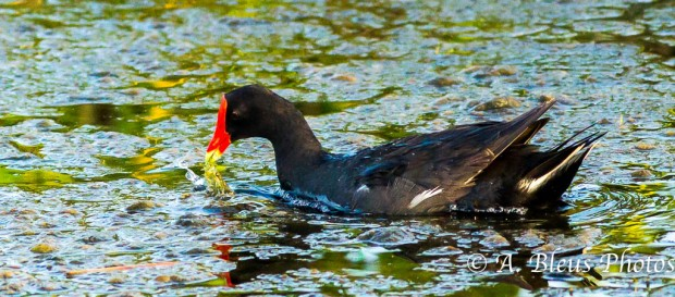 Common Moorhen_0348