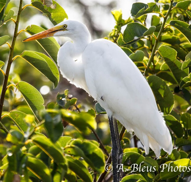 Great Egret_ 2155