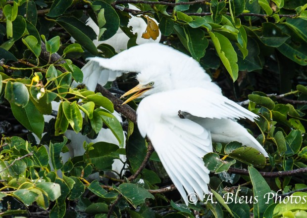 Great Egret_2241