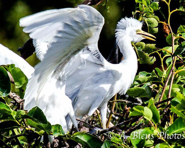 Great Egret_2446