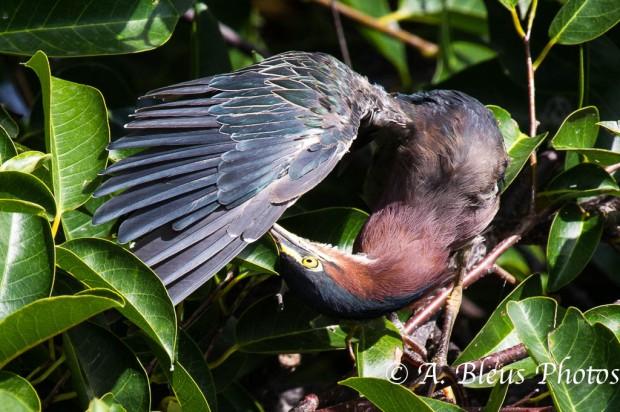 Heron Pruning Upside Down_2897