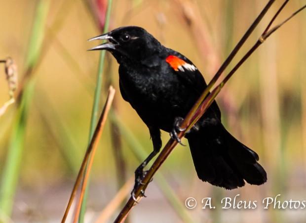 Red-winged Blackbird_-874