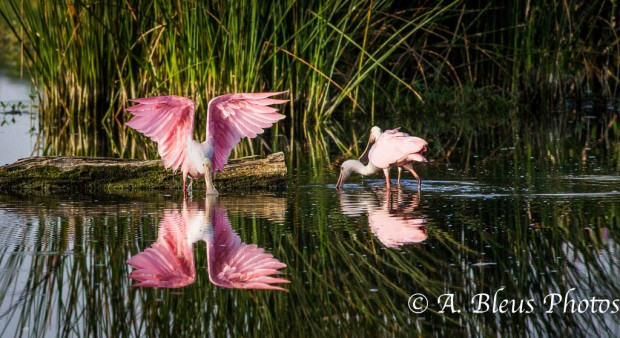 Roseate Spoonbill with Opened Wings_0625