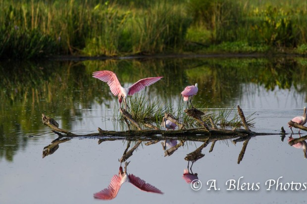 Roseate Spoonbill with Opened Wings_0641