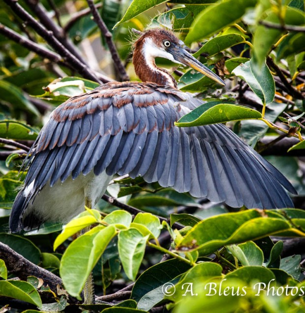 Tricolored Heron Fanning_2788