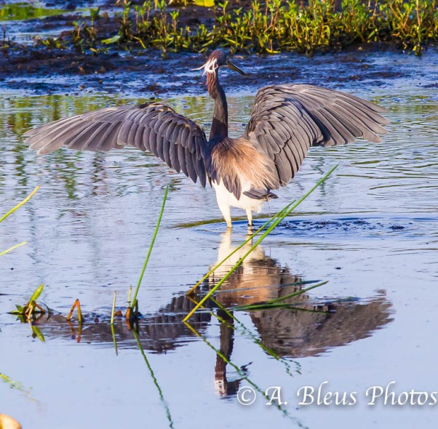 Tricolored Heron_0407