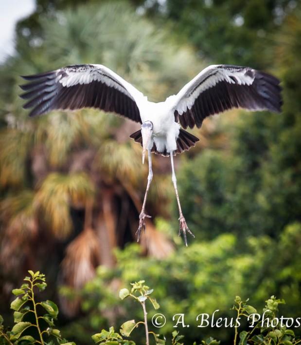 Wood Stork IF _2696