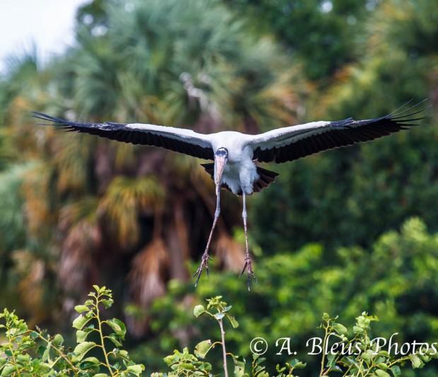 Wood Stork IF _2697