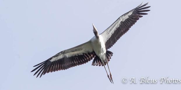 Wood Stork IF_2415