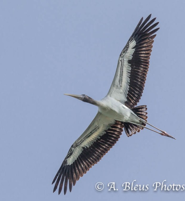 Wood Stork IF_2417