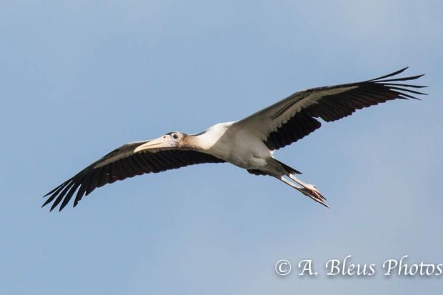 Wood Stork IF_2478