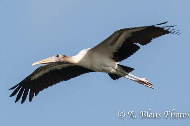Wood Stork IF_2486