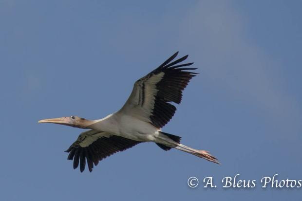 Wood Stork IF_2492