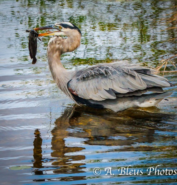 Great Blue Heron with Prey MG_2257