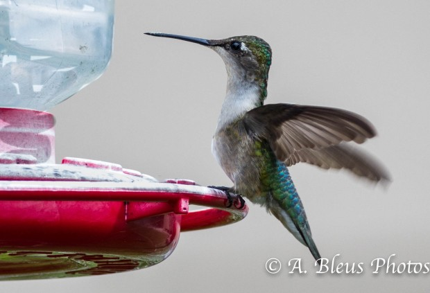 Female Ruby-throated Hummingbird_93E3028