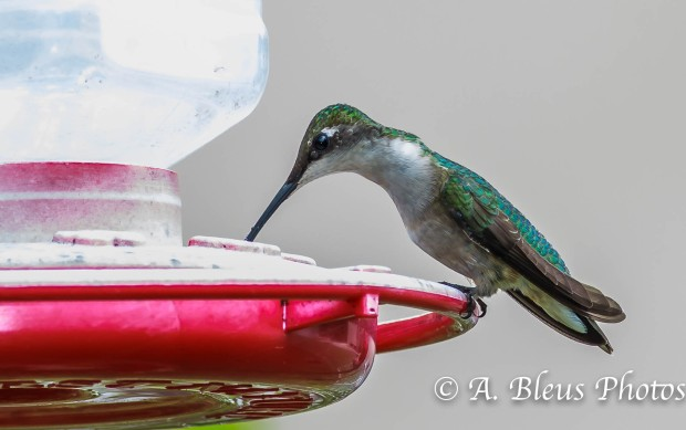 Female Ruby-throated Hummingbird_93E3087